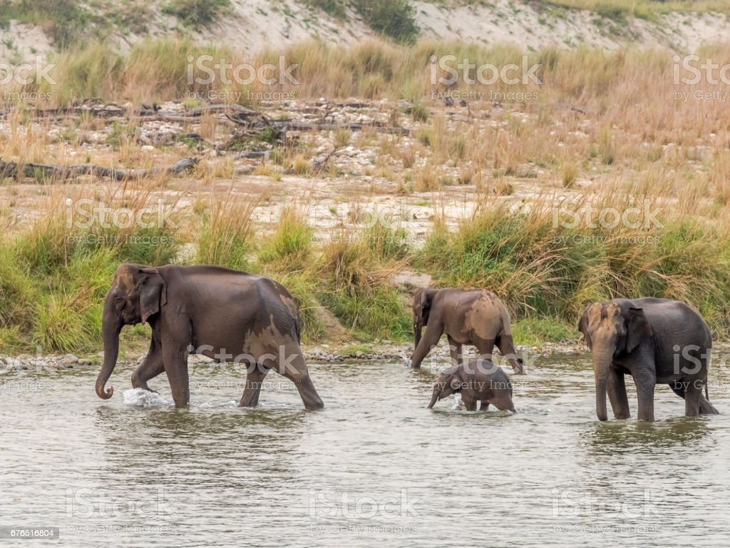 Elephant herd with a small baby crossing the river stock photo