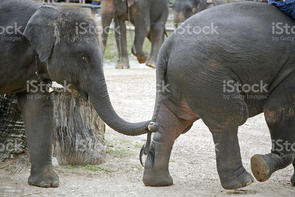 Elephant Holding Tail royalty-free stock photo