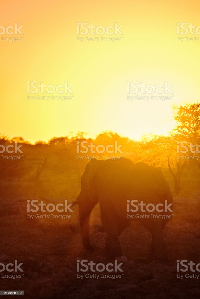 Elephant in a sunset stock photo