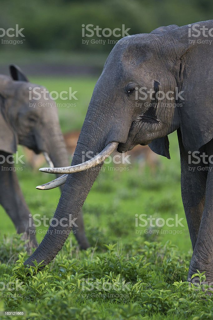 Elephant in Africa on Safari, Zambia royalty-free stock photo