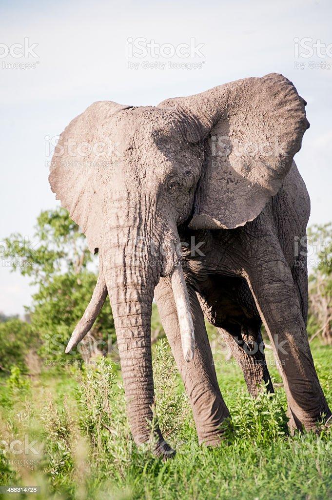 Elephant in Botswana Game Reserves stock photo