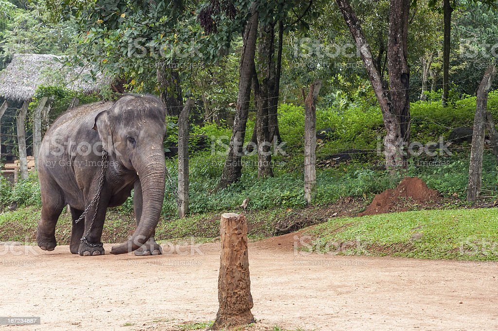 Elephant in chains royalty-free stock photo
