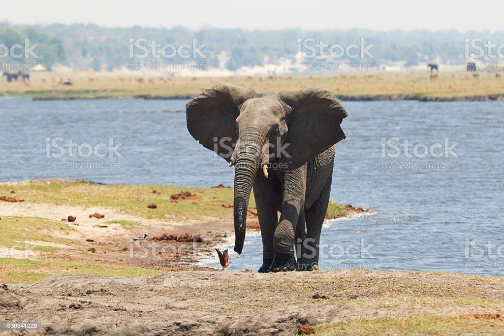 Elephant in Chobe River stock photo