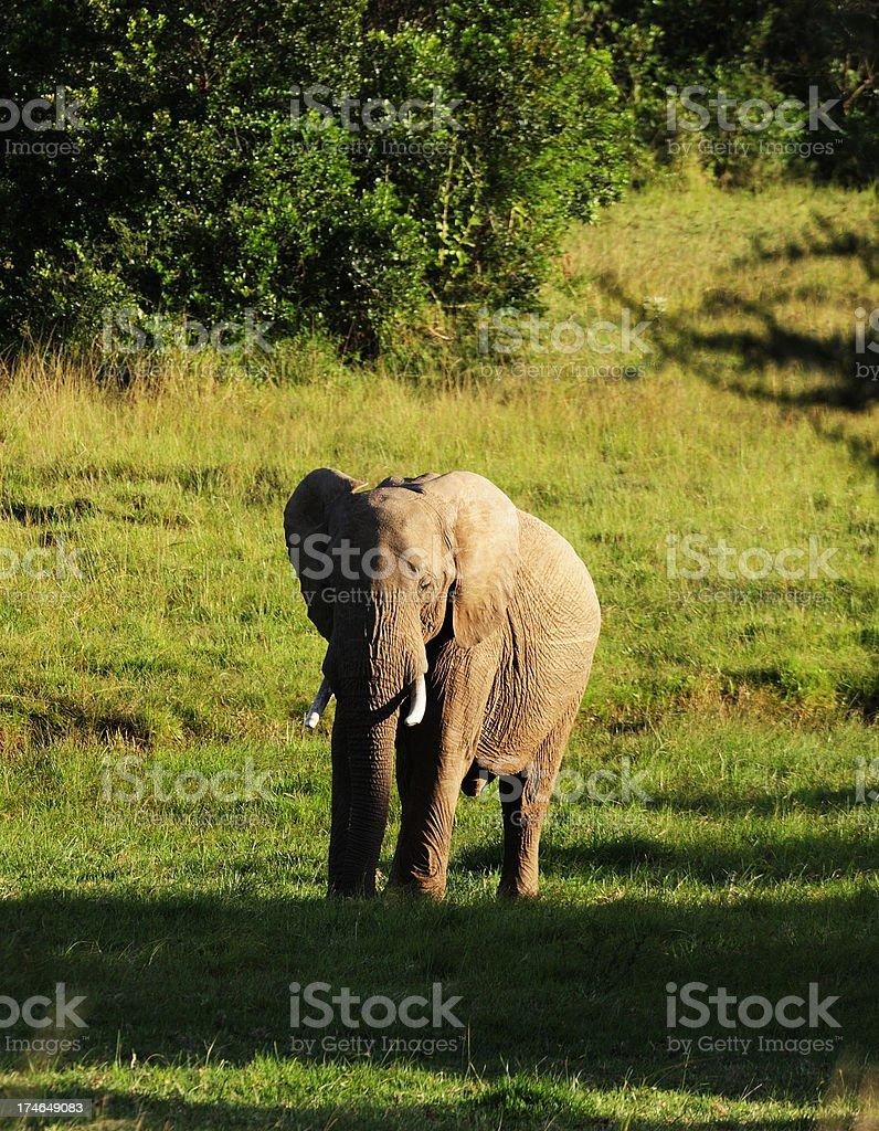 Elephant in Evening Sunlight stock photo