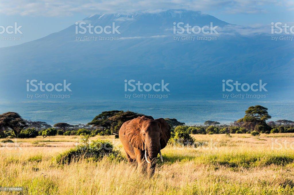 Elephant in front of Mount Kilimanjaro stock photo