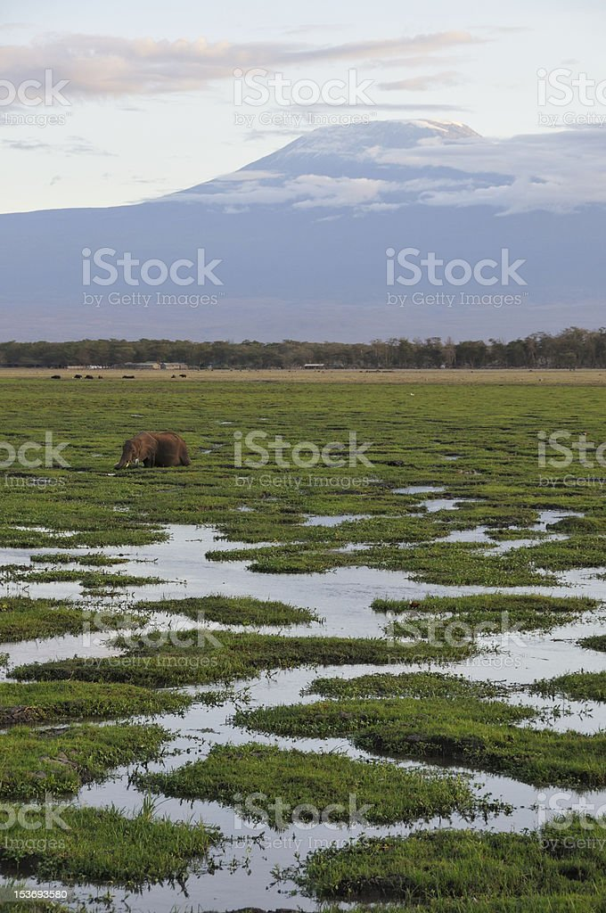 Elephant in front of Mt Kilimanjaro stock photo