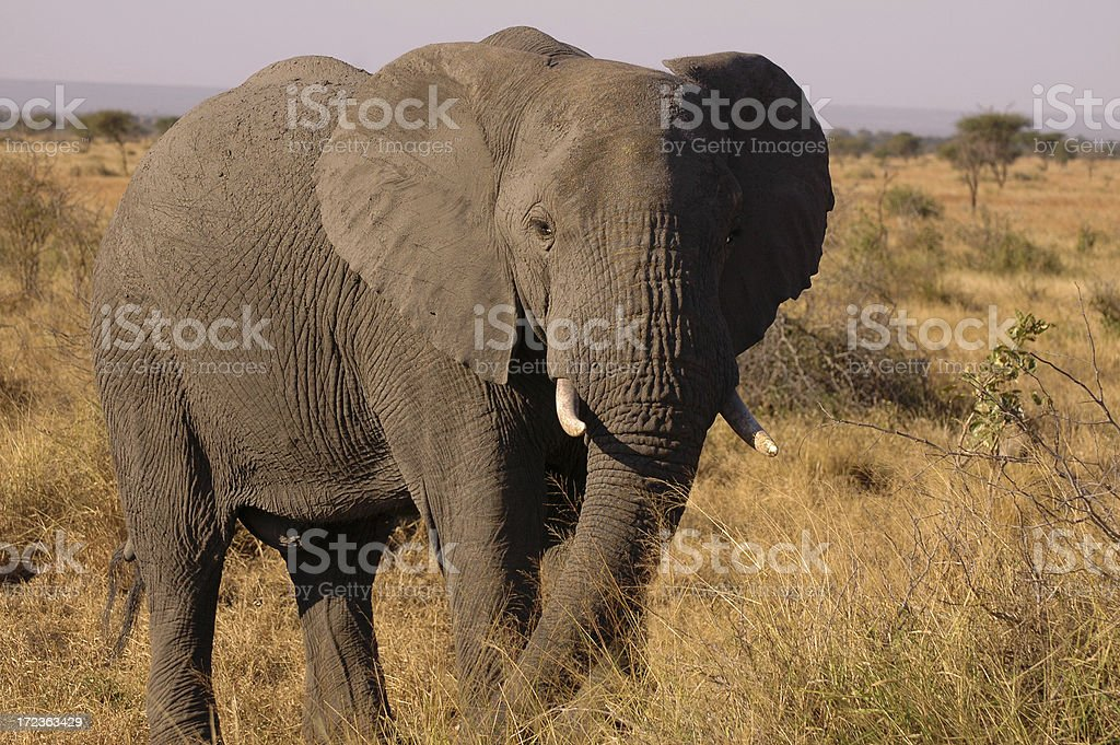 Elephant in Grasslands royalty-free stock photo