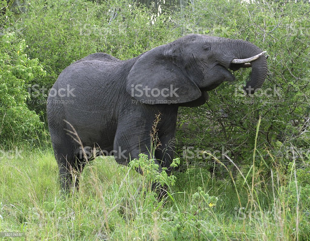 Elephant in green vegetation royalty-free stock photo