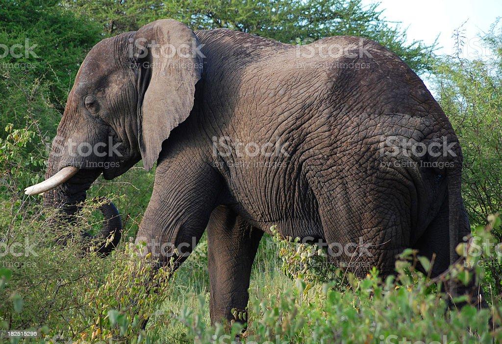Elephant in green wild - Elefant Wildnis stock photo