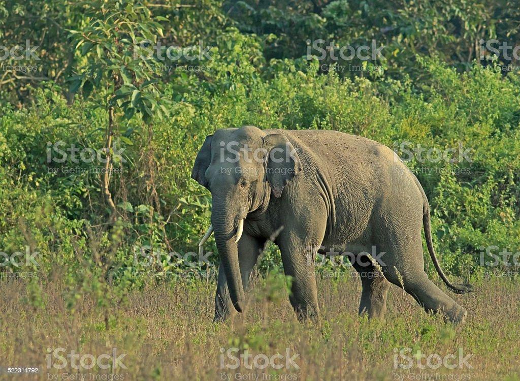 Elephant in habitat, West Bengal, India stock photo