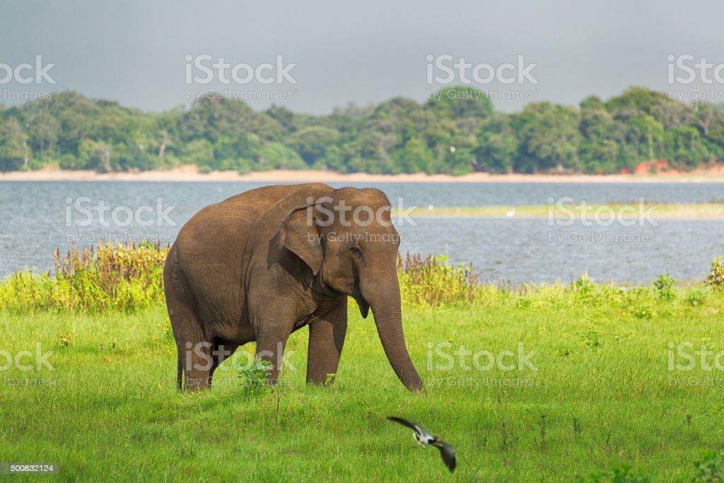 Elephant in Minneriya Wildlife Reserve, Sri Lanka stock photo