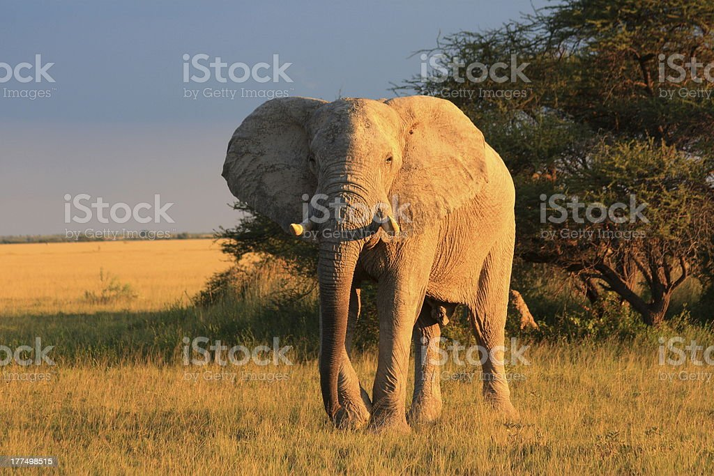 Elephant in Nxai Pan stock photo