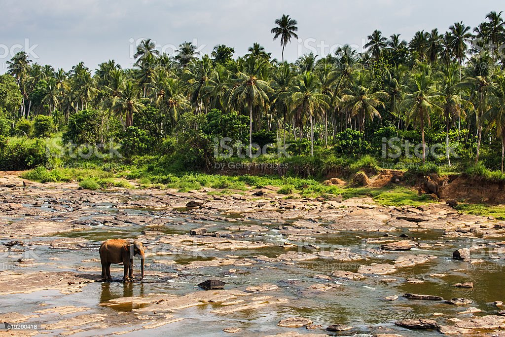 Elephant in river, Pinnawala landscape stock photo