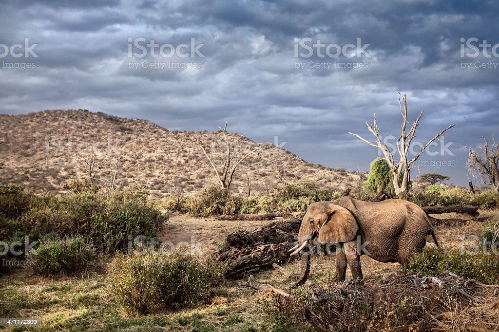 Elephant in Samburu National Park stock photo