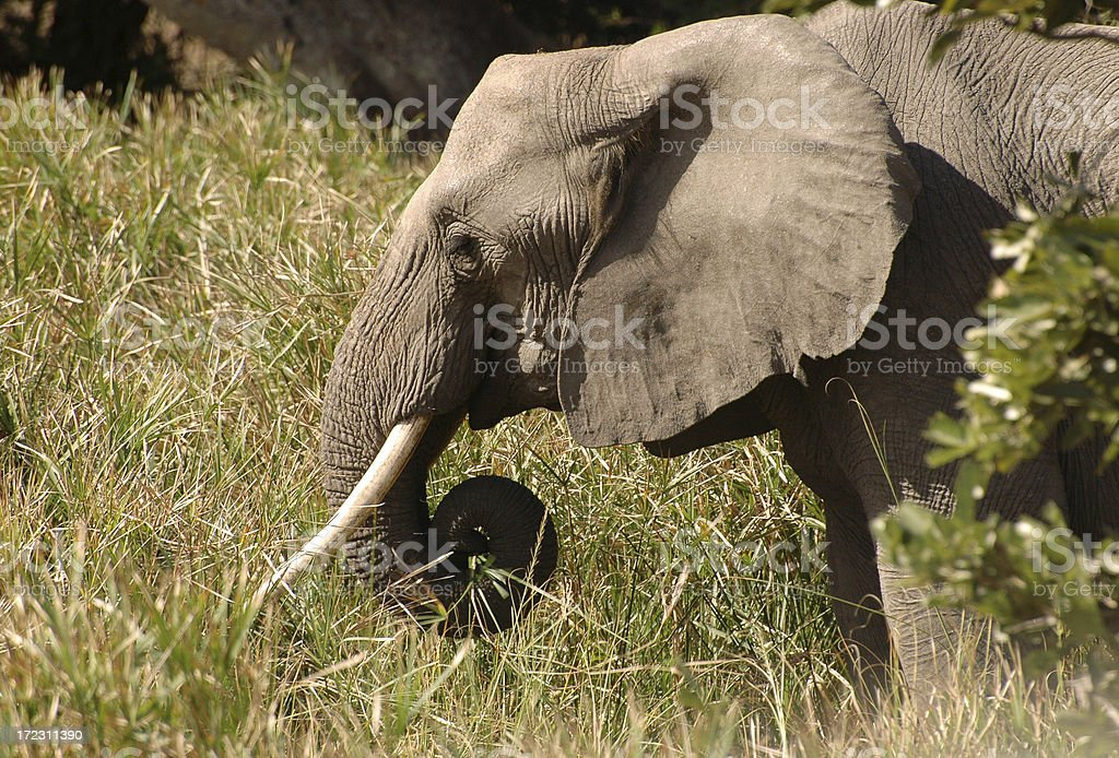 Elephant in Tall Grass stock photo