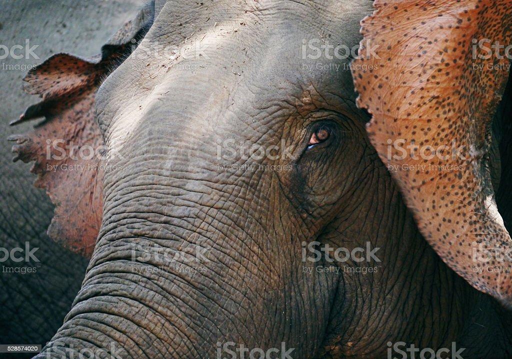 Elephant in Thailand stock photo