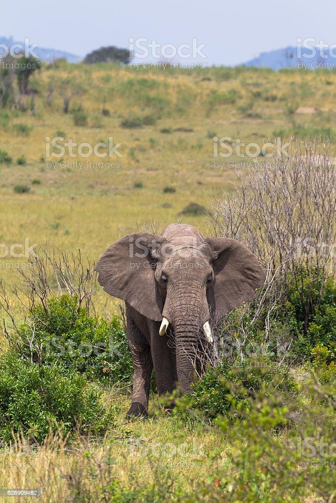 Elephant in the bush thickets. Masai Mara, Kenya. stock photo