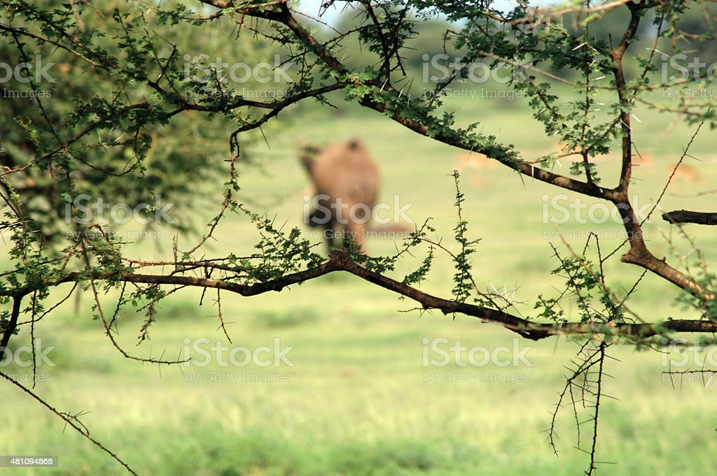 elephant in the grass stock photo