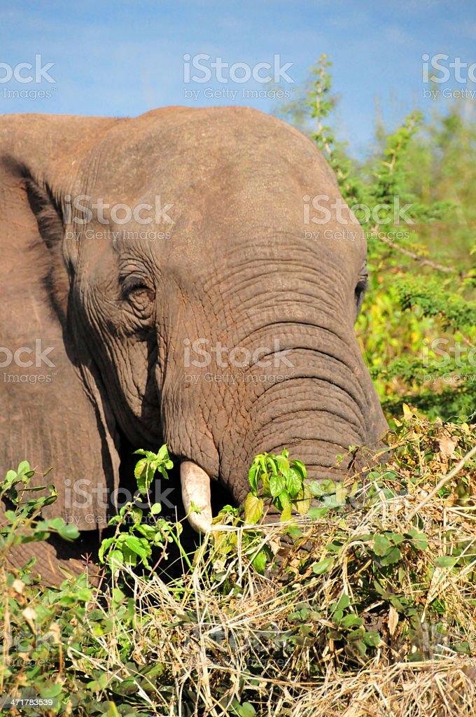 elephant in the high bush, Zimbabwe, Victoria Falls stock photo