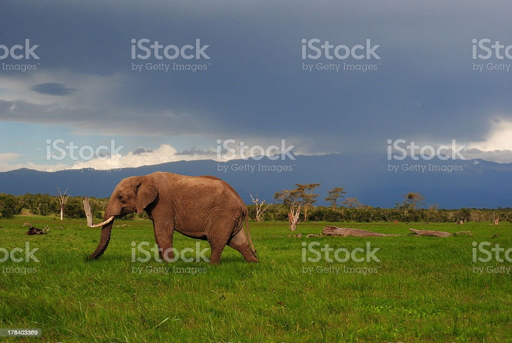 Elephant in the marsh. stock photo