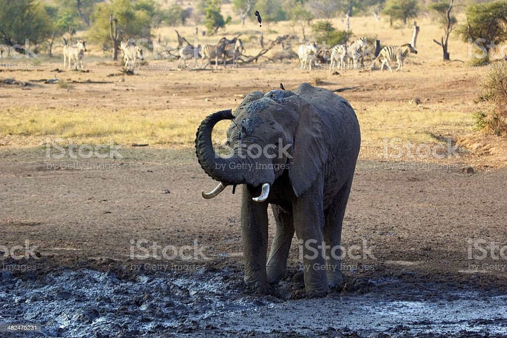 Elephant in the mud. stock photo