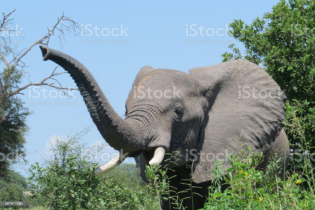 Elephant in the Ruaha National Park stock photo