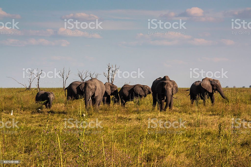 Elephant in the Savuti Marsh, Okavango Delta, Botswana stock photo