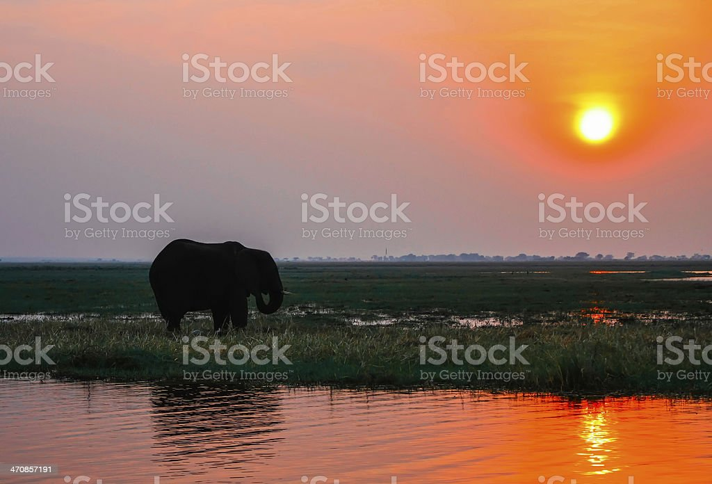 Elephant in the sunset stock photo