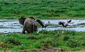 Elephant in the wild, Kenya