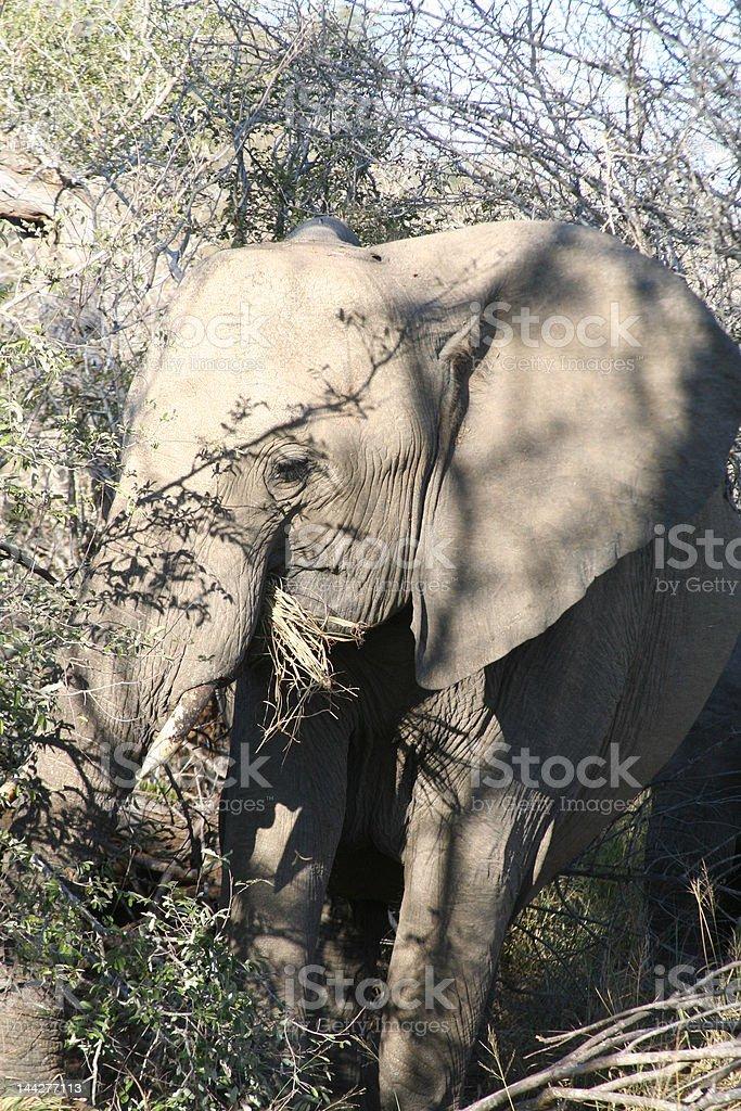 Elephant in the wild stock photo