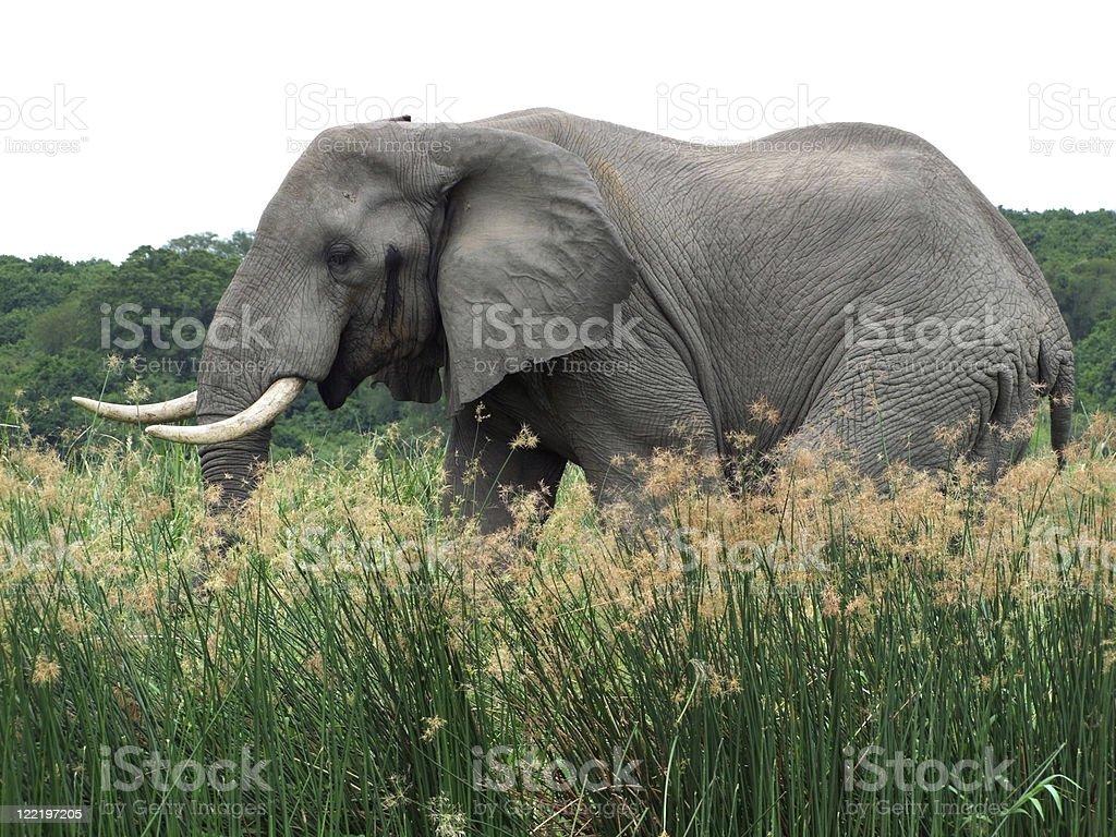 Elephant in Uganda royalty-free stock photo