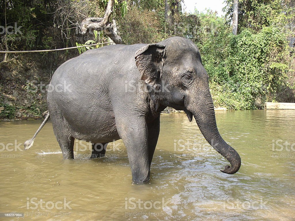 Elephant - Indian stock photo