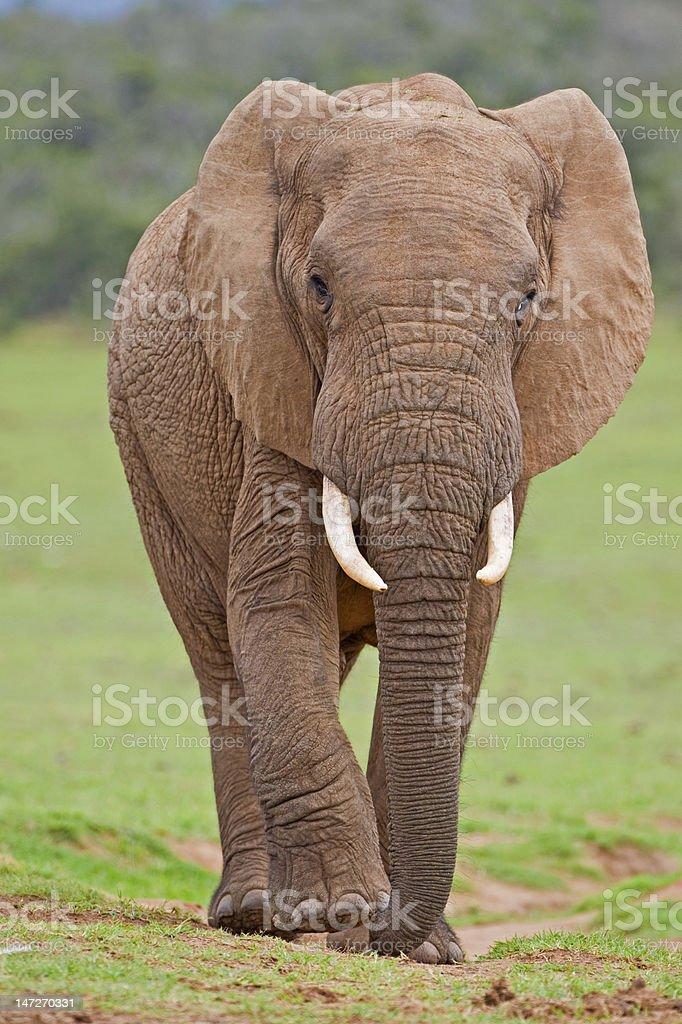 Elephant Investigation stock photo