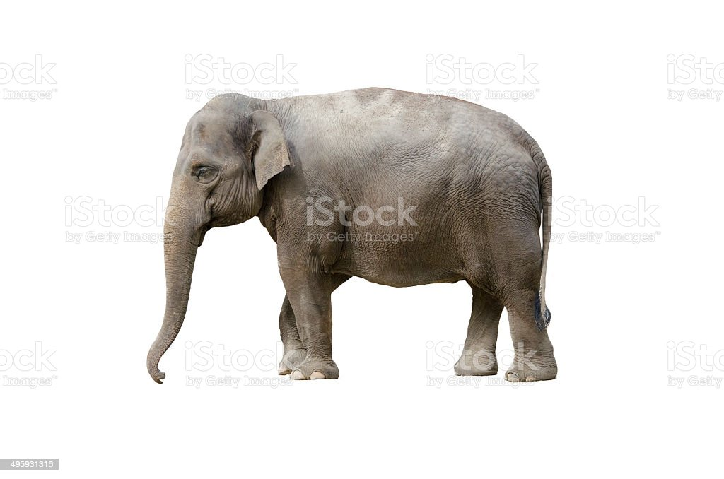 elephant isolated on white stock photo