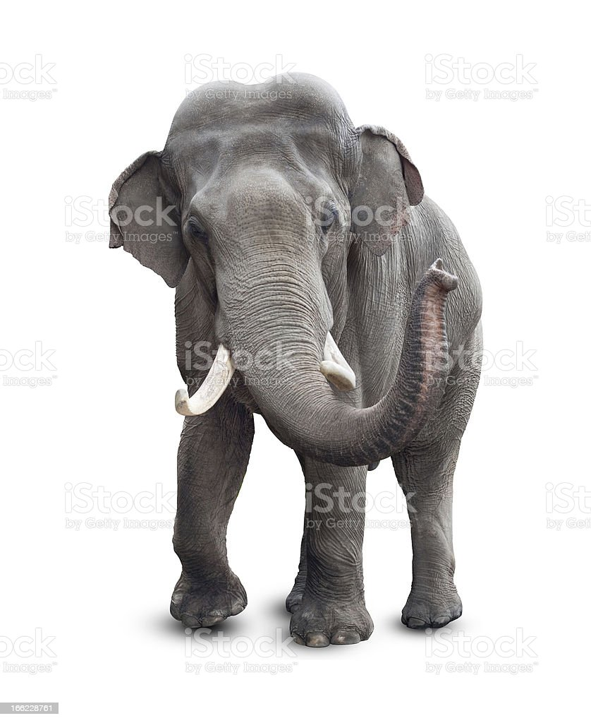 Elephant isolated on white with clipping path included stock photo
