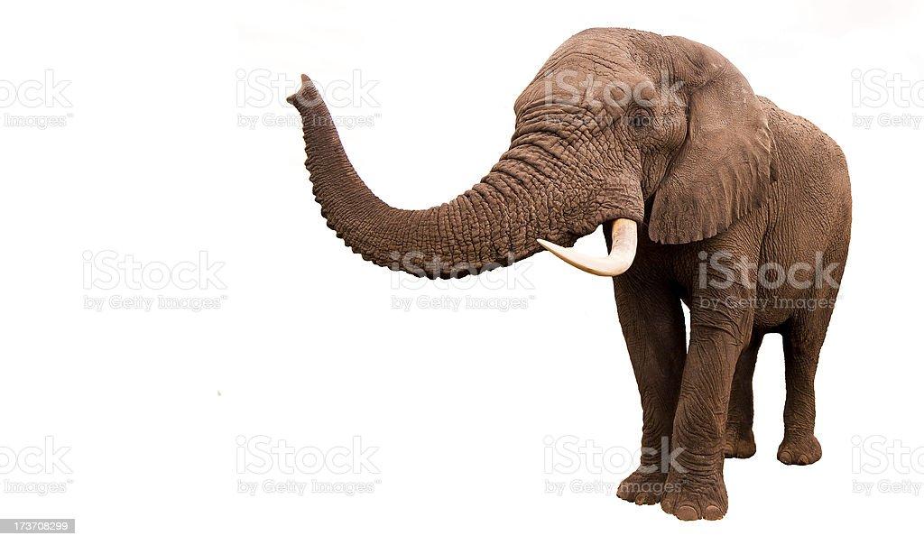 Elephant isolated stock photo