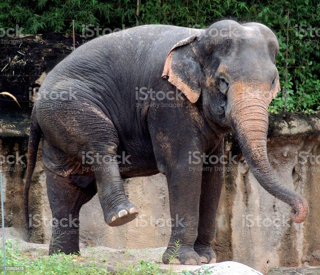 Elephant Kicking royalty-free stock photo