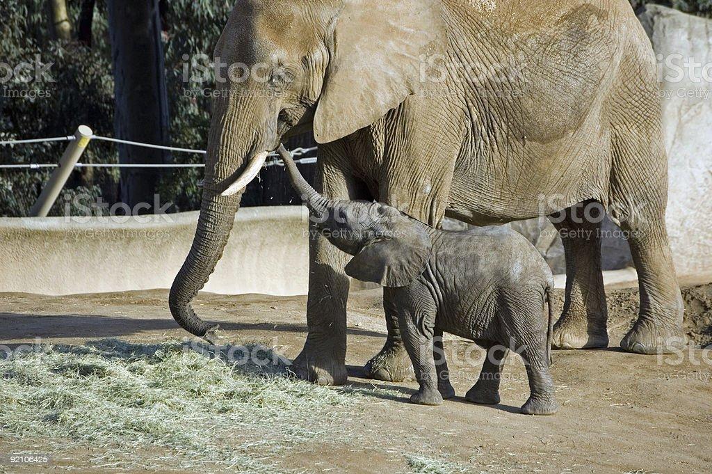 Elephant Kiss royalty-free stock photo