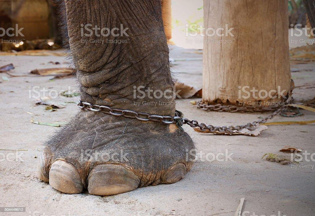elephant leg on chain stock photo