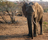 Elephant looking