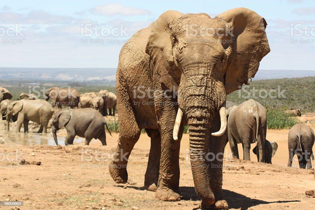 Elephant Making His Move stock photo