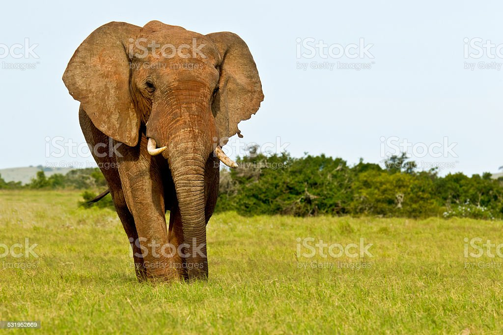 Elephant male standing and eating stock photo