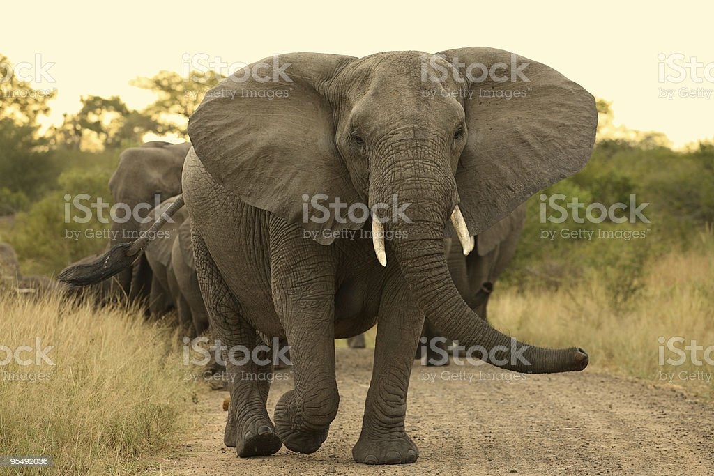 Elephant matriarch cow leading a herd. stock photo