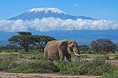 Elephant matriarch in front of Mount Kilimanjaro, Kenya