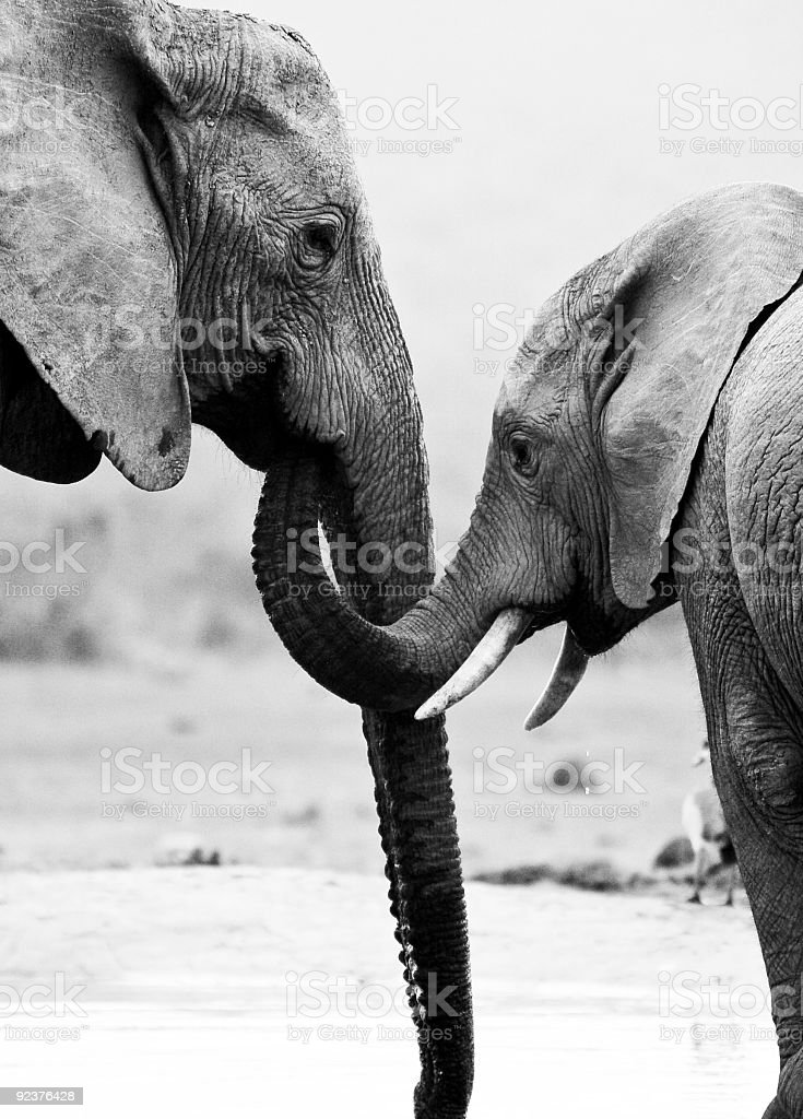 elephant mother and son stock photo