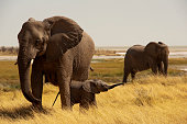 Elephant mother with baby, Okerfontein waterhole, Etosha Nationa