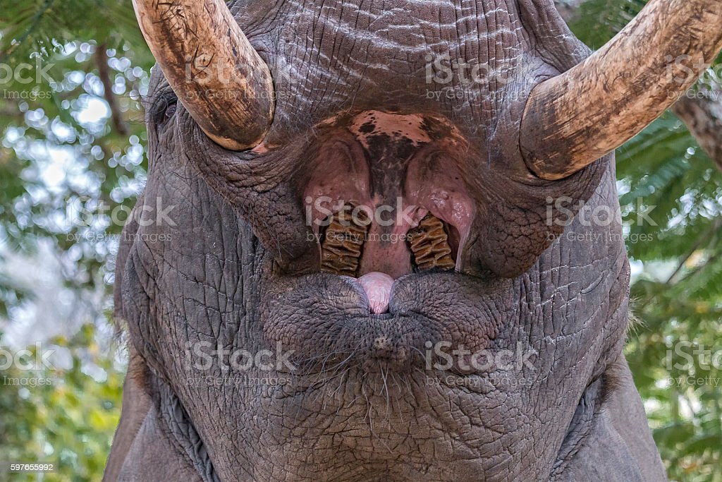 Elephant mouth wide open stock photo