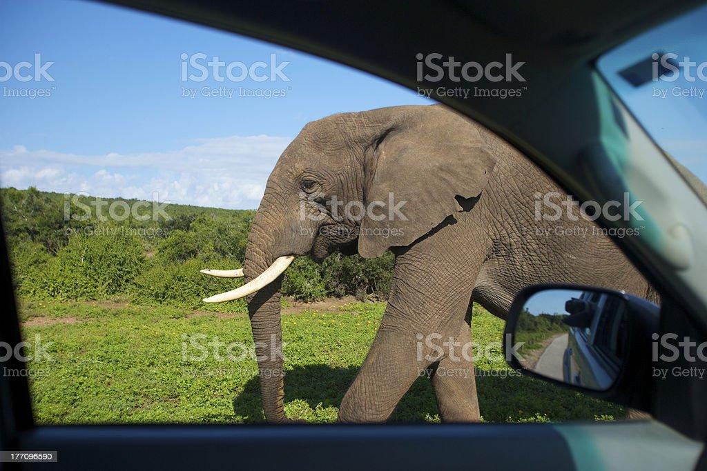 Elephant near car, Addo Park stock photo