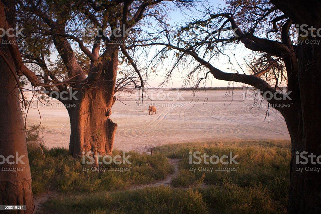 Elephant on Salt Pan stock photo