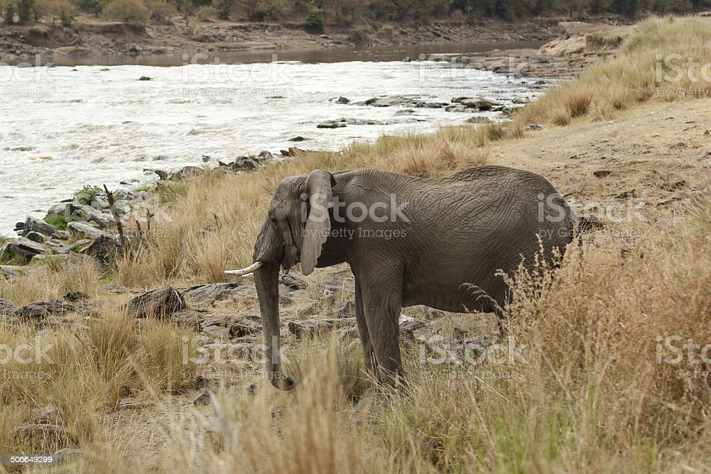 Elephant on watering point royalty-free stock photo